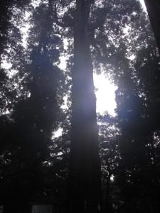 立派な杉が沢山ありました